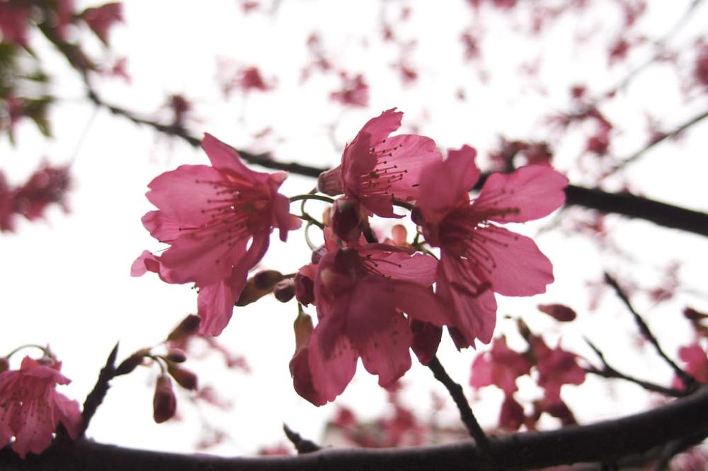 Blossoms at Hsinchu Science Park