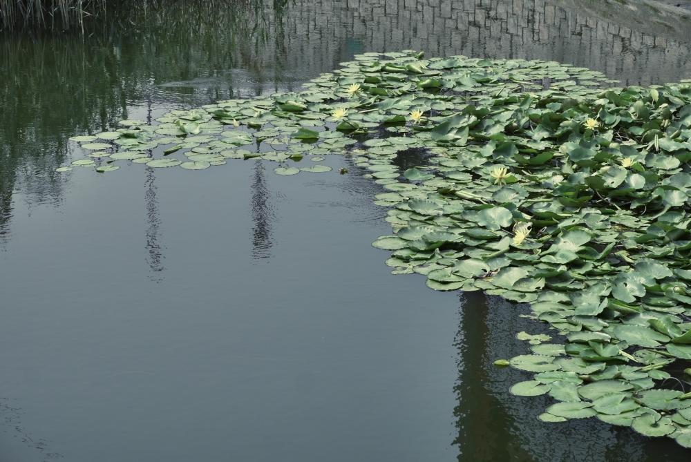 Travel Photographer   Lotus leaves at Ping Shan Heritage Trail Hong Kong