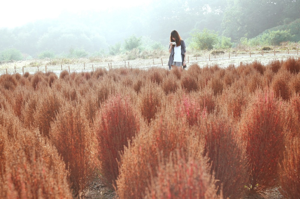 Kochia at Gwanggyo Lake Park, Suwon.