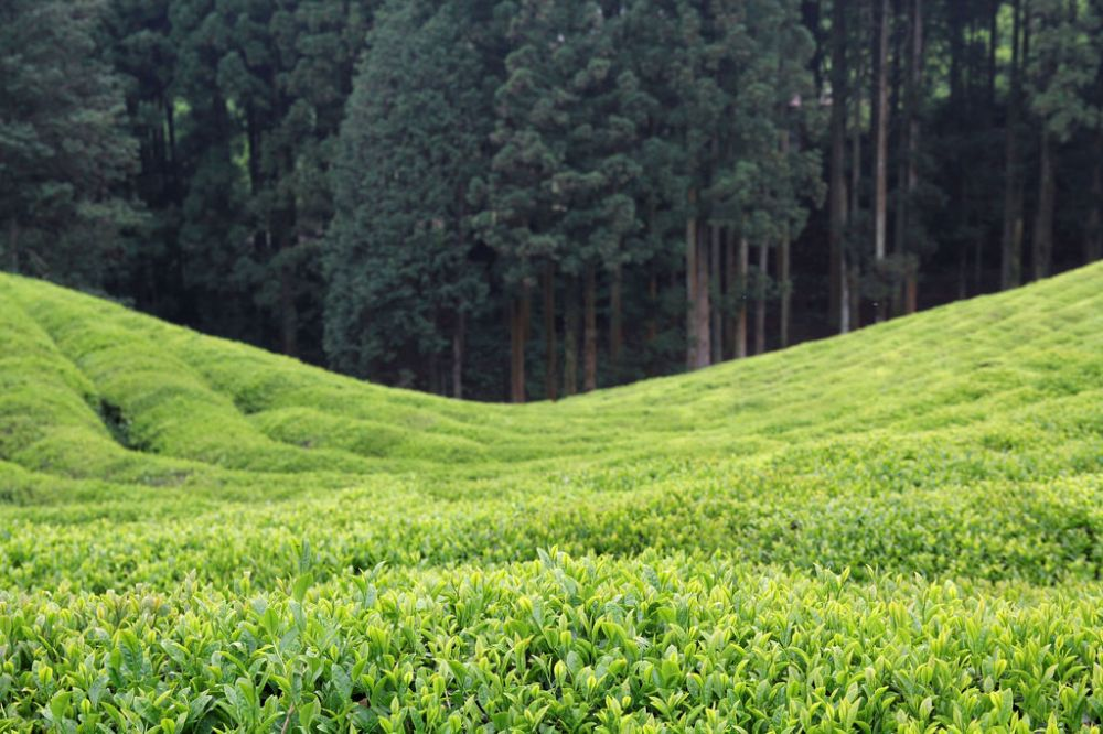 Daehan Dawon Tourist Tea Plantation, Boseong.