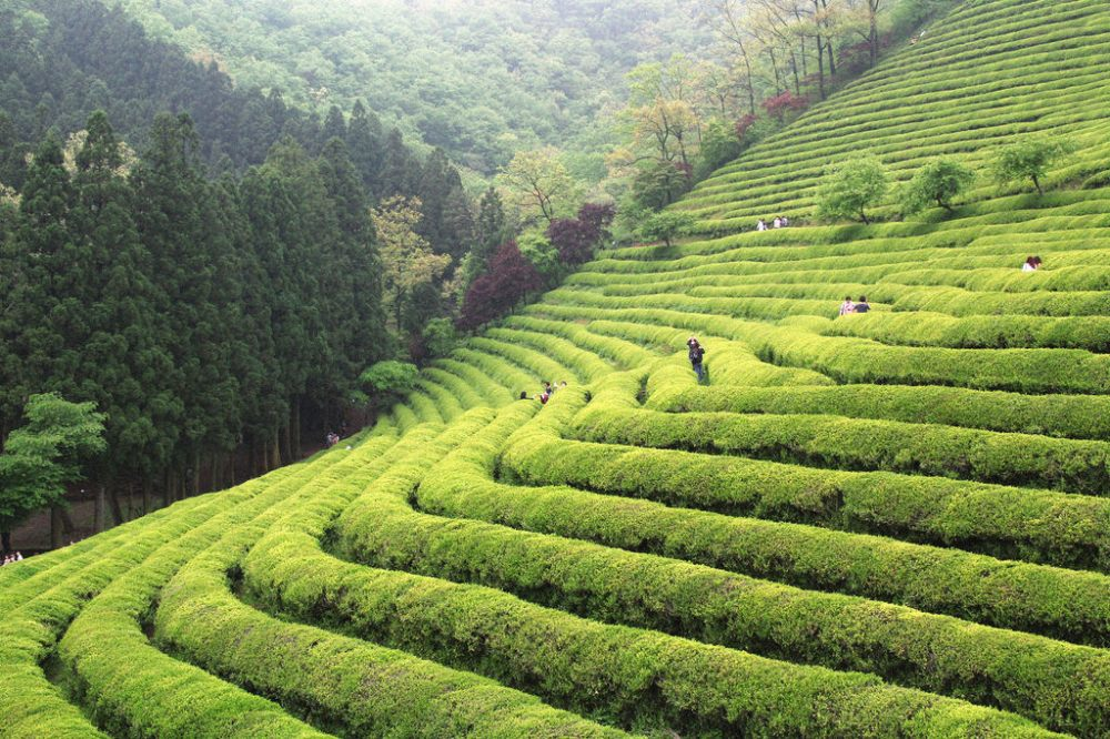 Boseong Daehan Dawon Green Tea Plantation