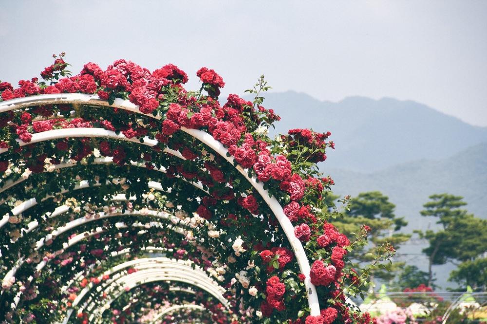 Travel Photographer | Gokseong International Rose Festival South Korea Summer